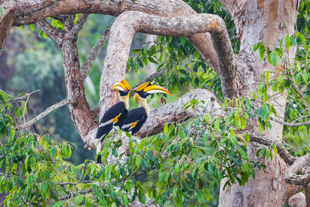 strikingly: Couple of lover of Great hornbill (Buceros bicornis) in nature at Khaoyai national park,Thailand