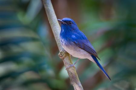 Portrait of Hainan blue flycatcher (Cyornis hainanus) in nature photo