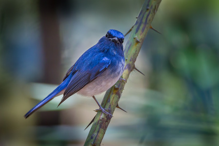 Hainan blue flycatcher (Cyornis hainanus) on the branch photo