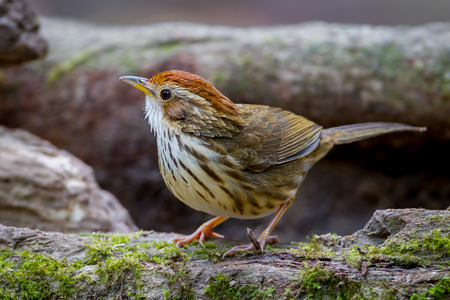 brown throated: Spot-throated Babbler ( Pellorneum albiventre ) stair at us Stock Photo