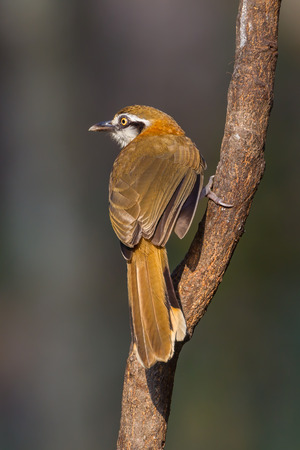 laughingthrush: Portrait of Greater Necklaced Laughingthrush (Garrulax pectoralis) in nature in Thailand Stock Photo