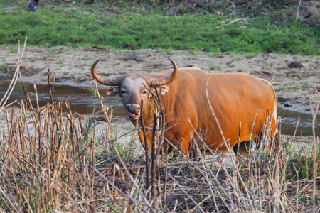 endangered species: Male Banteng(Bos javanicus ) who was in Red List of Threatened Species in Endangered species in nature at Wildlife Sanctuary,Thailand