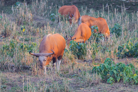 threatened: Group of  Banteng(Bos javanicus ) who was in Red List of Threatened Species in Endangered species on the field in nature at Wildlife Sanctuary,Thailand