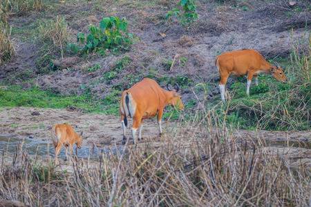 threatened: Banteng(Bos javanicus ) family who was in Red List of Threatened Species in Endangered species walking cross the river in nature at Wildlife Sanctuary,Thailand