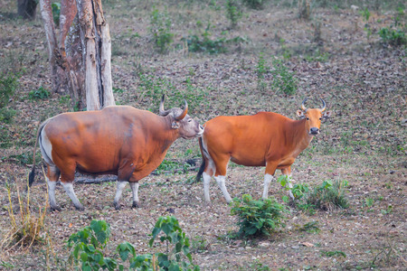 endangered species: Couple Male and female of  Banteng(Bos javanicus ) who was in Red List of Threatened Species in Endangered species in nature at Wildlife Sanctuary,Thailand Stock Photo