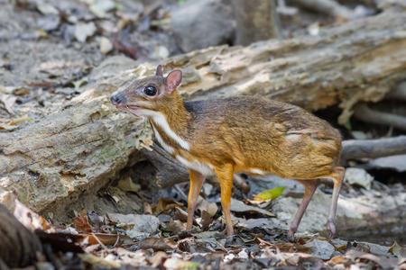 Close up of Male Lesser Mouse Deer (Tragulus javanicus) in nature at Kaengkrajarn national park,Thailand Stock Photo