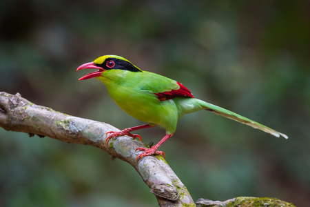 Portrait of  Common green magpie(Cissa chinensis) on the tree in nature at Kaengkrajarn national park,Thailand