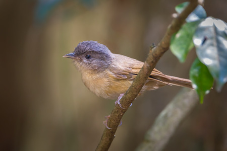 grey eyed: Brown-cheeked Fulvetta,Grey-eyed Fulvetta(Alcippe poioicephala ) catch on the branch in nature at Kaengkrajarn national park,Thailand Stock Photo