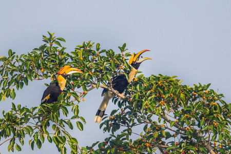 endanger: Couple of lover Great hornbill (Buceros bicornis) eating banyan fruit with action of seed floating in the air between his mount in nature at Khaoyai national park,Thailand