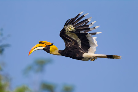 strikingly: Close up side view of flying Great hornbill (Buceros bicornis) in nature at Khaoyai national park,Thailand Stock Photo