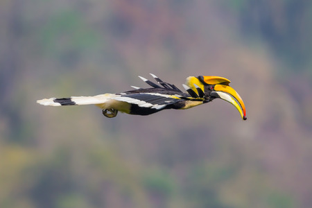 Close up side view of flying Great hornbill (Buceros bicornis) with fruit in his mount in nature at Khaoyai national park,Thailand Stock Photo
