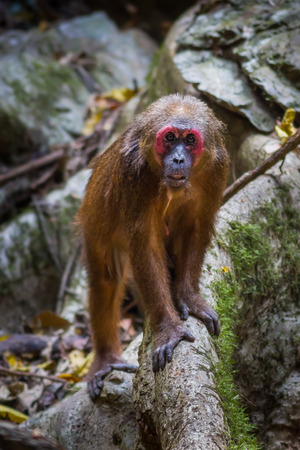 Old member of Stump-tailed macaque (Macaca arctoides ) stair at us on the wood in nature at Kaengkrajarn national park,Thailand