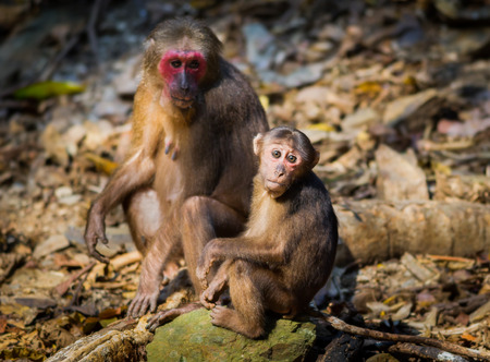 Lovely Mum and her baby of Stump-tailed macaque (Macaca arctoides ) in nature at Kaengkrajarn national park,Thailand Stock Photo