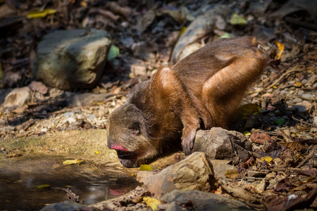nit: Stump-tailed macaque (Macaca arctoides ) come down to drink water in nature at Kaengkracharn national park,Thailand