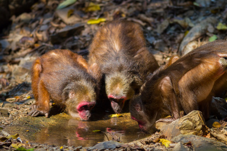 nit: Big group of Stump-tailed macaque (Macaca arctoides ) drinking water in nature at Kaengkracharn national park,Thailand