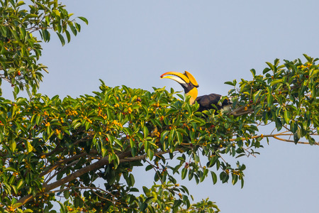 strikingly: Male Great hornbill (Buceros bicornis) with fruit in his mount on banyan tree in nature at Khaoyai national park,Thailand
