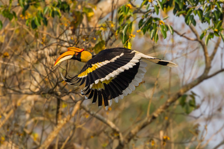 casque: Side view of Great hornbill (Buceros bicornis) flying in the wild in nature at Khaoyai national park,Thailand Stock Photo