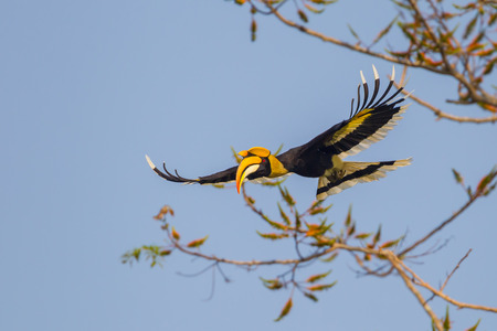 strikingly: Full wings flying Great hornbill (Buceros bicornis)  in nature at Khaoyai national park,Thailand Stock Photo