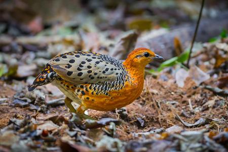 ferruginous: Close up of very rare bird  Ferruginous Partridge(Caloperdix oculea)  in the forest in nature at Kaengkracharn national park,Thailand Stock Photo