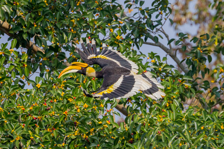casque: Great hornbill (Buceros bicornis) flying in nature at Khaoyai national park,Thailand