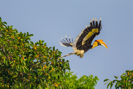 strikingly: Flying Great hornbill (Buceros bicornis) in nature at Khaoyai national park,Thailand