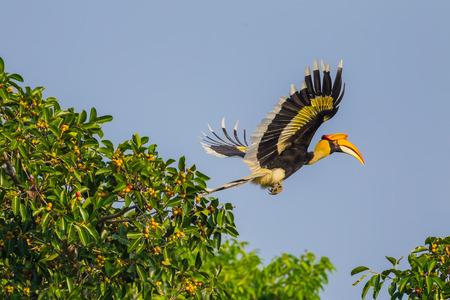 Flying Great hornbill (Buceros bicornis) in nature at Khaoyai national park,Thailand