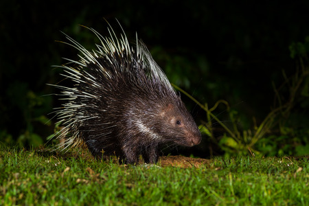 brush tailed: Portrait of Full body side view of Nocturnal animals Malayan porcupine(Hystrix brachyura) in nature at Kaengkracharn national park,Thailand Stock Photo