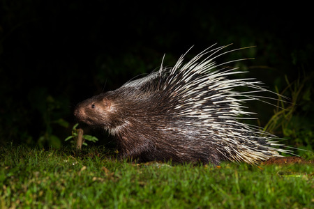 nocturnal: Full body side view of Nocturnal animals Malayan porcupine(Hystrix brachyura) in nature at Kaengkracharn national park,Thailand