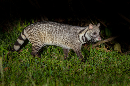 civet cat: Nocturnal animals Large indian civet (Viverra zibetha) finding food in nature in the night at Kaengkracharn national park,Thailand