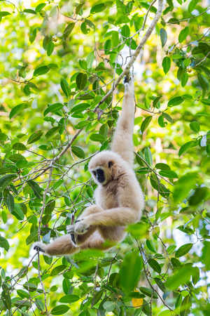 conglomeration: Portrait of White-handed gibbon(Hylobates lar) in the forest at Kaengkracharn national park,Thailand