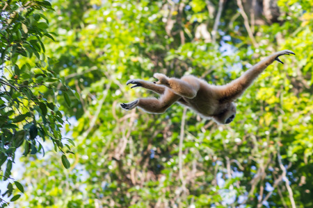 conglomeration: Flying and jumping White-handed gibbon(Hylobates lar) in the forest at Kaengkracharn national park,Thailand Stock Photo