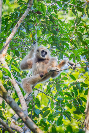 bonobo: White-handed gibbon(Hylobates lar) relax sitting on the tree in the forest at Kaengkracharn national park,Thailand
