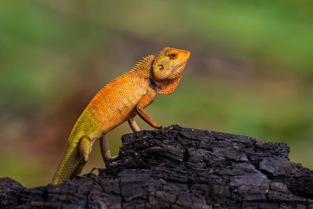 versicolor: Red chameleon Calotes versicolor in nature in Thailand Stock Photo