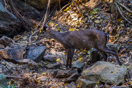 yai: Tenasserim muntjac Muntiacus feae smelling for the water in forest at Kaengkrajarn national parkThailand