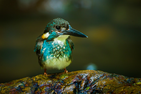 alcedo: Bluebanded kingfisher Alcedo euryzona on the stone in nature at Kaengkrajarn national parkThailand