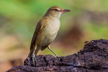 japenese: Close up of Oriental Reed WarblerAcrocephalus orientalis in nature in Thailand