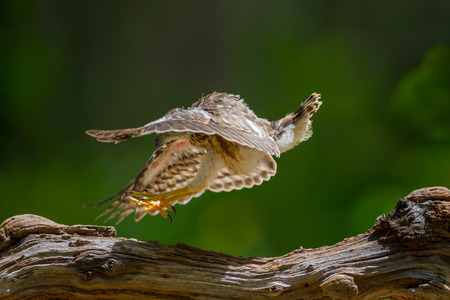 Young Crested serpenteagleSpilornis cheela playing on the wood in nature at Hui Kha Khaeng wildlife sanctuary Thailand