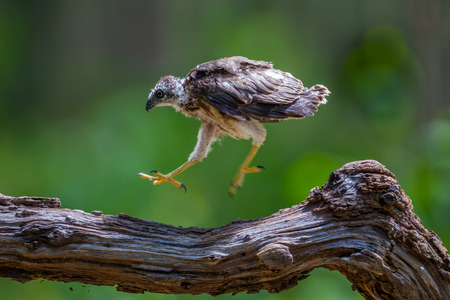 Young Crested serpenteagleSpilornis cheela jumping and playing on the wood in nature at Hui Kha Khaeng wildlife sanctuary Thailand Stock Photo