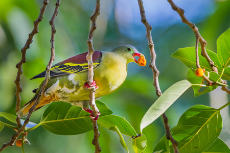 Male Thickbilled Green Pigeon Treron curvirostra with fruit in his mount in nature at Hui Kha Khaeng wildlife sanctuary Thailand