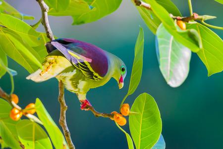 Portrait of Thickbilled Green Pigeon Treron curvirostra in nature at Hui Kha Khaeng wildlife sanctuary Thailand