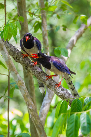 Close up portrait of Redbilled blue magpie Urocissa erythrorhyncha in nature at Hui Kha Khaeng wildlife sanctuary Thailand Stock Photo