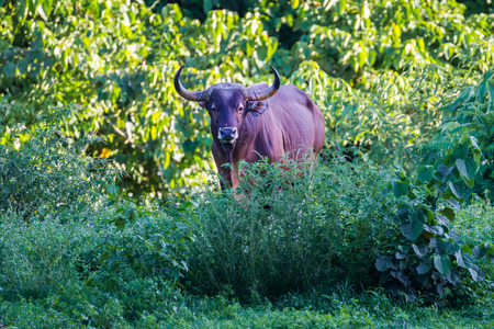 Endangered species in IUCN Red List of Threatened Species full adult Male Banteng Bos javanicus in real nature stair at us at Hui Kha Kheang  wildlife sanctuary in Thailand