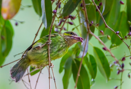 Young Greeneared Barbet Megalaima faiostricta with fruit in mount in nature at Khaengkrajarn national parkThailand