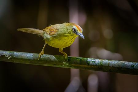 Pinstriped Tit Babbler  Macronus gularis  in nature at Khao Yai National ParkThailand Stock Photo
