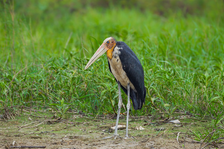 lesser: Lesser adjutant stork Leptoptilos javanicus  in nature at Bangpra Sanctuary in Chonburi Thaland