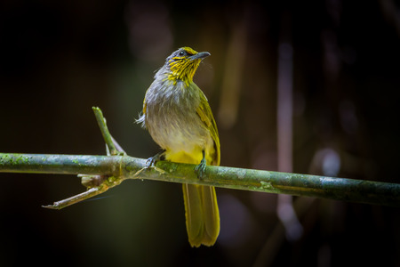 Portrait of Stripethroated BulbulPycnonotus finlaysoni in nature at Khao Yai National ParkThailand