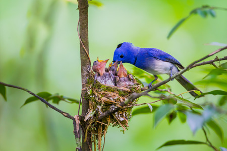 Male Blacknaped monarch Hypothymis azurea with his family in nature at Kaengkrajarn national parkThailand