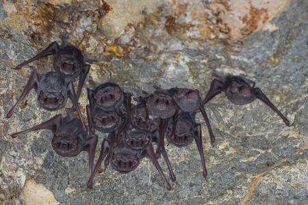 dark cave: Long-winged Tomb BatTaphozous longimanus stair us in nature in very dark cave at Khaoyoi , Petchaburi,Thailand