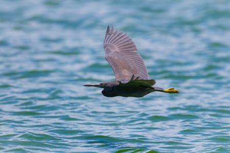 Pacific Reef Egret Egretta sacra flying  in nature at Laempukbia, Petchaburi,Thailand