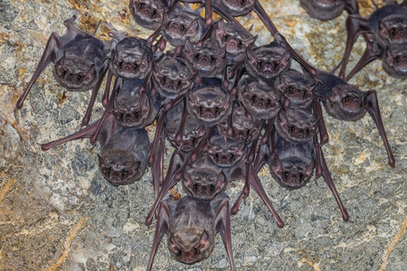 Big group close up of Long-winged Tomb BatTaphozous longimanus stair us in nature in very dark cave at Khaoyoi , Petchaburi,Thailand Stock Photo